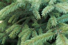 Rami attillati su un fondo verde Giovane albero attillato, rami verde intenso Fondo dei rami dell'albero di Natale Primo piano fotografie stock