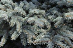 Rami blu del pino Immagine Stock