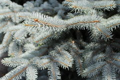 Rami blu del pino per la cartolina di Natale Fotografia Stock