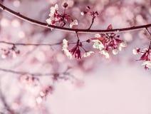 Rami con i fiori delicati bianchi della molla dell'albero da frutto Immagine Stock