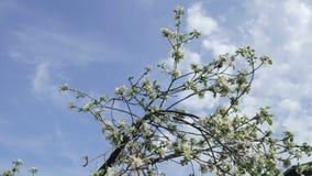 Rami con i fiori di di melo che ondeggiano nel vento contro il cielo e le nuvole video d archivio