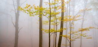 Rami con le foglie gialle in una foresta nebbiosa di Montseny Immagine Stock Libera da Diritti