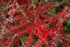 Rami con le foglie rosse Immagine Stock