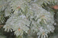 Rami congelati del pino Fotografia Stock Libera da Diritti