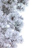 Rami congelati del pino isolati su bianco Fotografia Stock