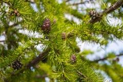 Rami coniferi con i coni Fotografie Stock