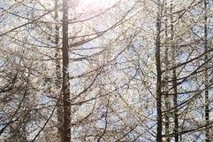 Rami coniferi coperti di brina Fotografia Stock