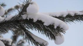 Rami coperti di ramo del pino di inverno della brina, fiocchi di neve dell'abete su una fine del ramo su stock footage