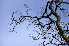 Rami curvati dell'acacia della strega contro il cielo blu Immagini Stock