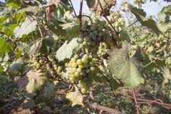 Rami degli acini d'uva che crescono nei campi georgiani Chiuda sulla vista dell'acino d'uva fresco nella Georgia Vista della vign Fotografia Stock