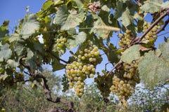 Rami degli acini d'uva che crescono nei campi georgiani Chiuda sulla vista dell'acino d'uva fresco nella Georgia Vista della vign Fotografia Stock Libera da Diritti