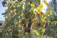 Rami degli acini d'uva che crescono nei campi georgiani Chiuda sulla vista dell'acino d'uva fresco nella Georgia Vista della vign Immagine Stock