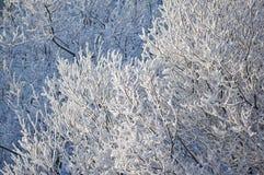 Rami degli alberi coperti di gelo Immagini Stock