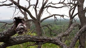 Rami degli alberi morti asciutti Clima duro Gli alberi stanno morendo Alberi morti nell'atmosfera mistica di favola della foresta video d archivio