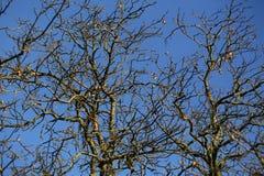 Rami degli alberi nudi Immagine Stock Libera da Diritti