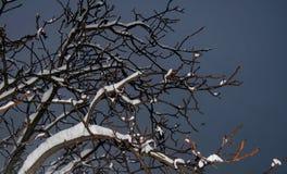 Rami degli alberi sotto la neve alla notte contro il cielo nero immagine stock