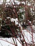 Rami degli arbusti nudi nell'ambito di tempo nevoso, campagna francese immagini stock