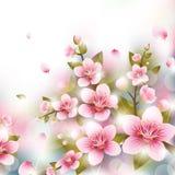 Rami dei fiori di ciliegia Fotografia Stock Libera da Diritti