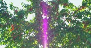 Rami del ciliegio nel vento Molte bacche mature rosse stock footage