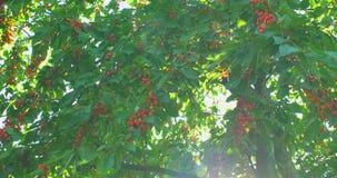 Rami del ciliegio nel vento Molte bacche mature rosse archivi video