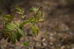 Rami del cinorrodo nei raggi del sole caldo della molla rami della rosa canina con il giovane parco delle foglie verdi in primave immagini stock libere da diritti