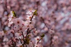 Rami del fiore di ciliegia Immagini Stock