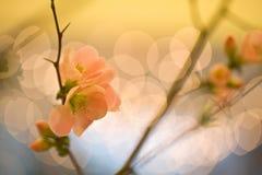 Rami del fiore di ciliegia Fotografia Stock Libera da Diritti