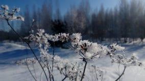 Rami del ghiaccio fotografia stock libera da diritti