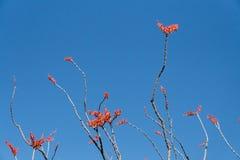 Rami del Ocotillo contro cielo blu Immagine Stock Libera da Diritti