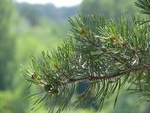 Rami del pino Fotografia Stock Libera da Diritti