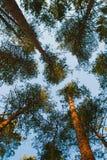 Rami del pino Fotografia Stock