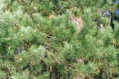 Rami del pino con i coni al sole fotografie stock