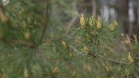 Rami del pino con i giovani coni Il tempo di primavera… è aumentato foglie, sfondo naturale stock footage