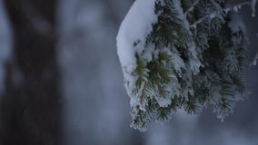 Rami del pino della forte nevicata stock footage