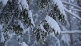 Rami del pino della forte nevicata video d archivio