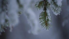 Rami del pino della forte nevicata, primo piano archivi video