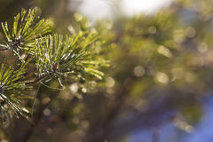Rami del pino di inverno alla luce solare Immagini Stock Libere da Diritti
