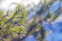 Rami del pino di inverno alla luce solare Fotografie Stock