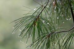 Rami del pino nella pioggia fotografie stock libere da diritti