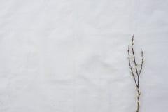 Rami del salice purulento con lo spazio della copia Immagini Stock Libere da Diritti