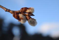 Rami del salice purulento in primavera Fotografia Stock