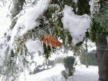Rami dell'abete completamente congelati, con le piccole pigne immagine stock libera da diritti