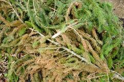 Rami dell'abete sulla terra Ramo attillato fertile verde Ramo dell'abete Abete Il ramo dell'albero di Natale dell'abete con le go Immagini Stock