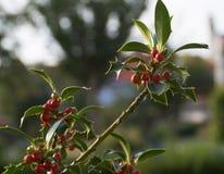Rami dell'agrifoglio con le bacche, ilex aquifolium Fotografia Stock