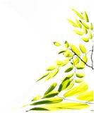 Rami dell'albero con le foglie verdi gialle Fotografie Stock Libere da Diritti