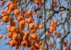 Rami dell'albero di cachi (diospyros kaki) in pieno di frutta Fotografia Stock Libera da Diritti