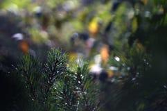Rami dell'albero di Cristmas, albero di abete, albero attillato su un fondo vago della foresta, immagine stock libera da diritti