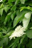 Rami dell'anziano di fioritura in primavera o l'estate verticale fotografia stock libera da diritti