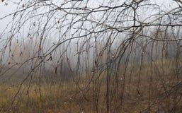 Rami della betulla con le belle gocce di pioggia in autunno fotografia stock libera da diritti