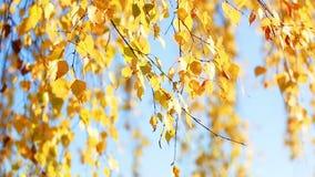 Rami della betulla con le foglie di autunno dorate video d archivio